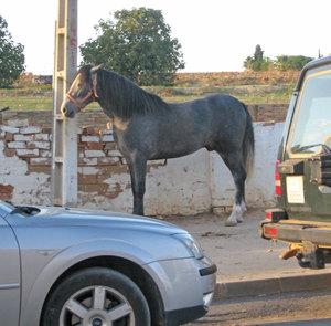 Horse_beas